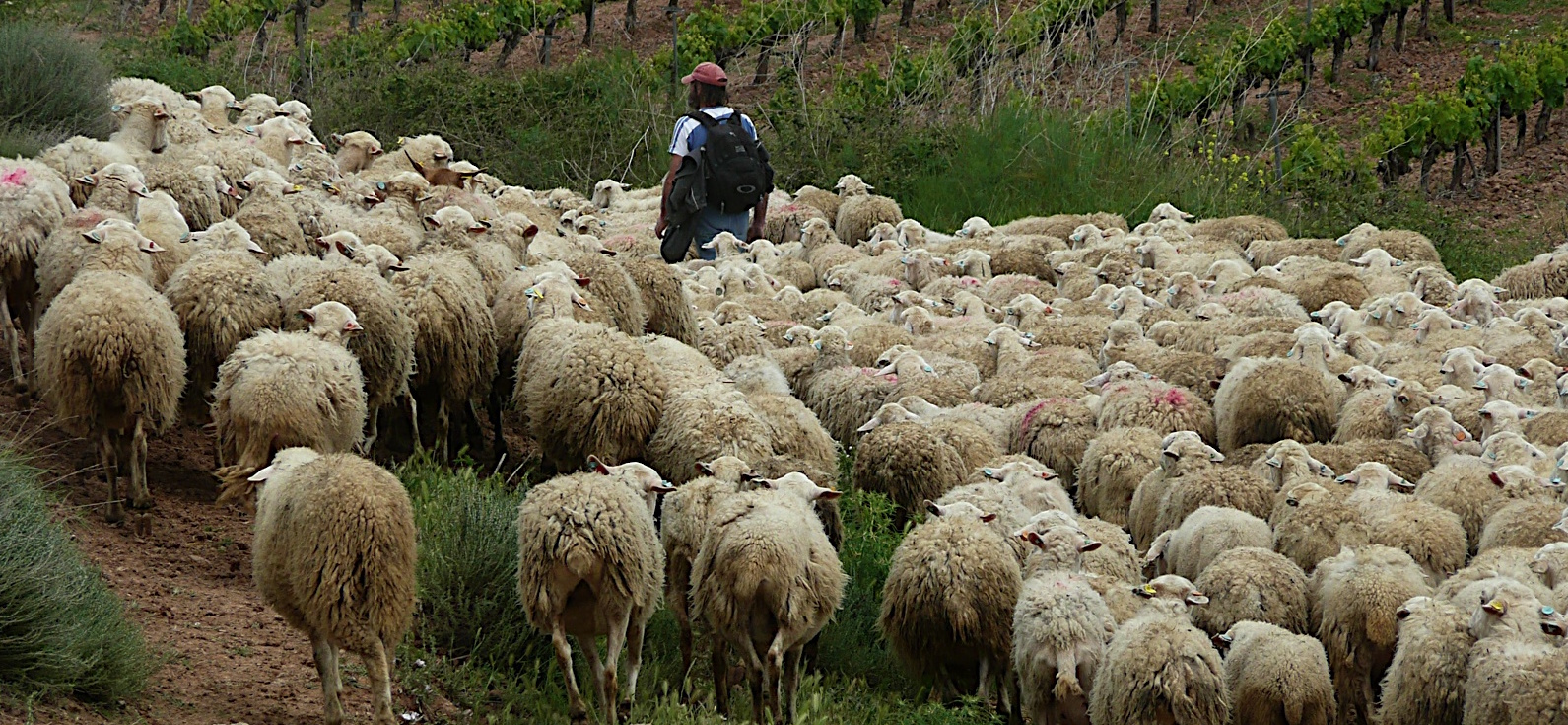 A shepherd walks in the middle of a flock of sheep, with the sheep crowding close.