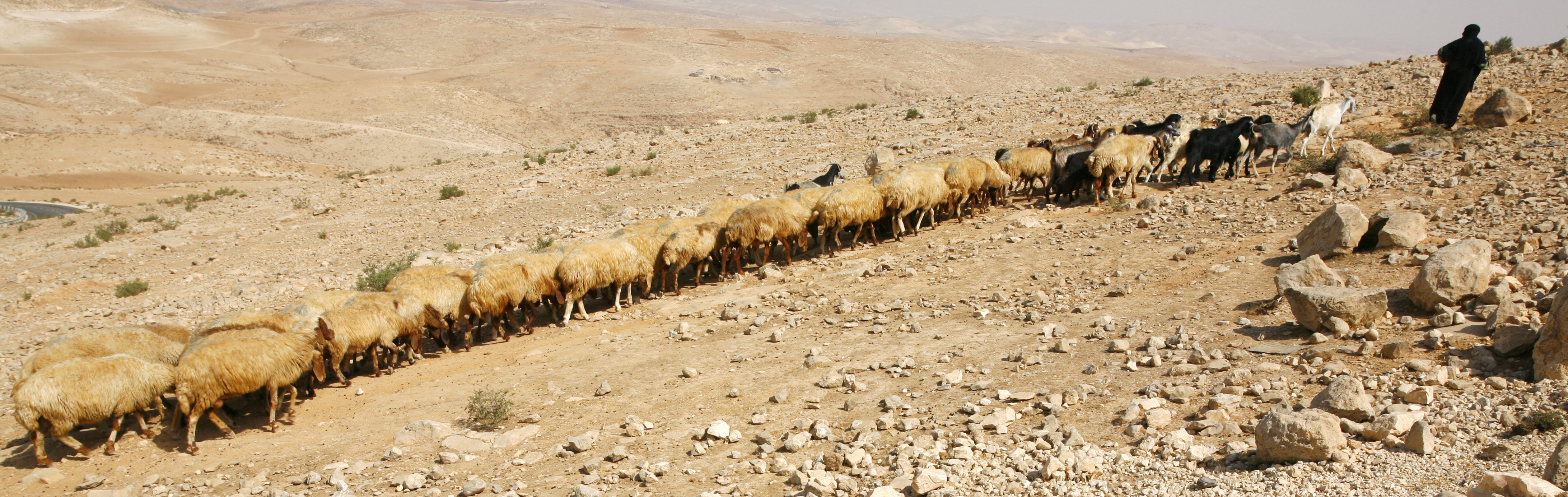 a shepherd leads a line of sheep that extends behind him