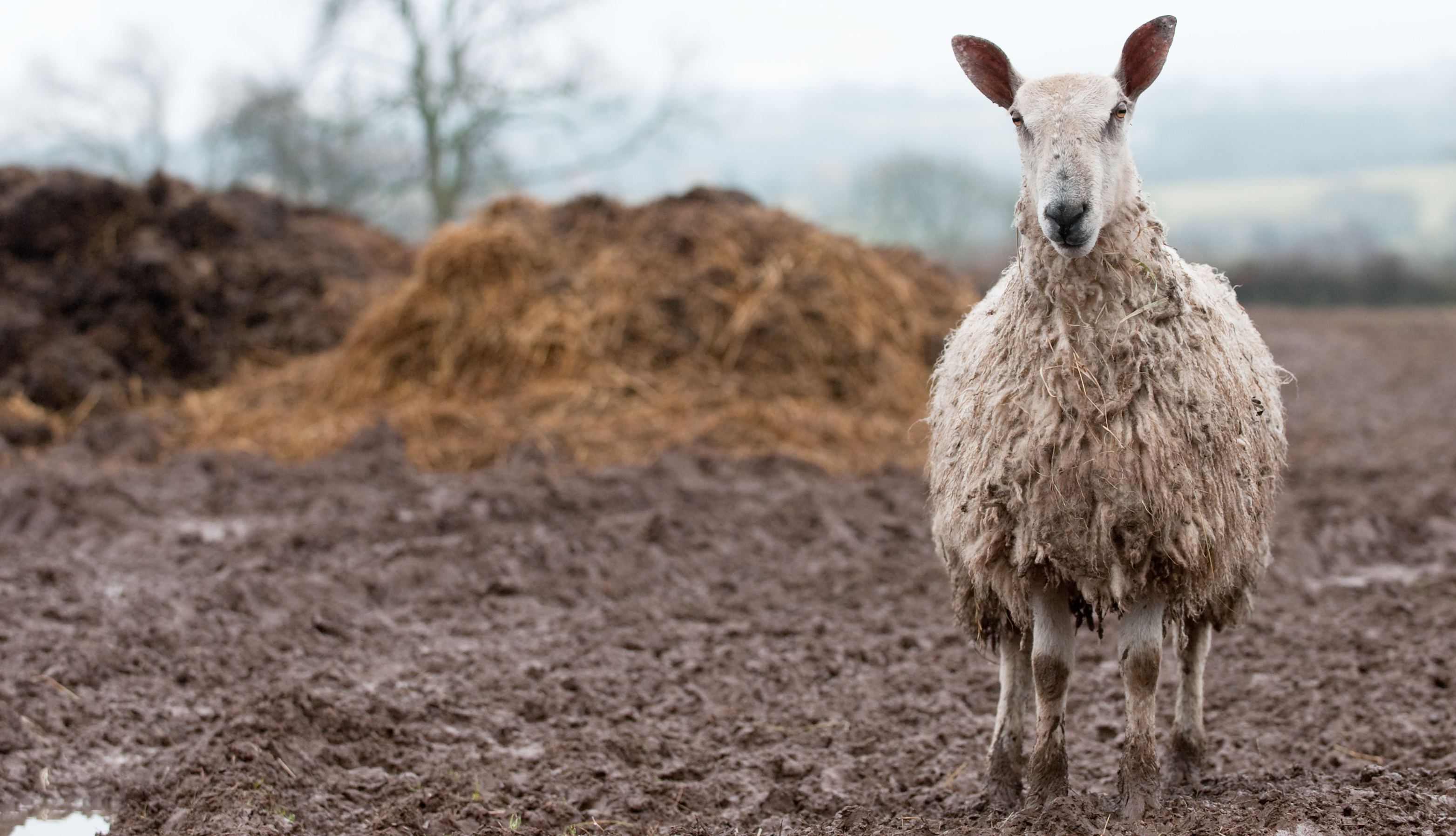 a sheep with mud caked all over its fleece