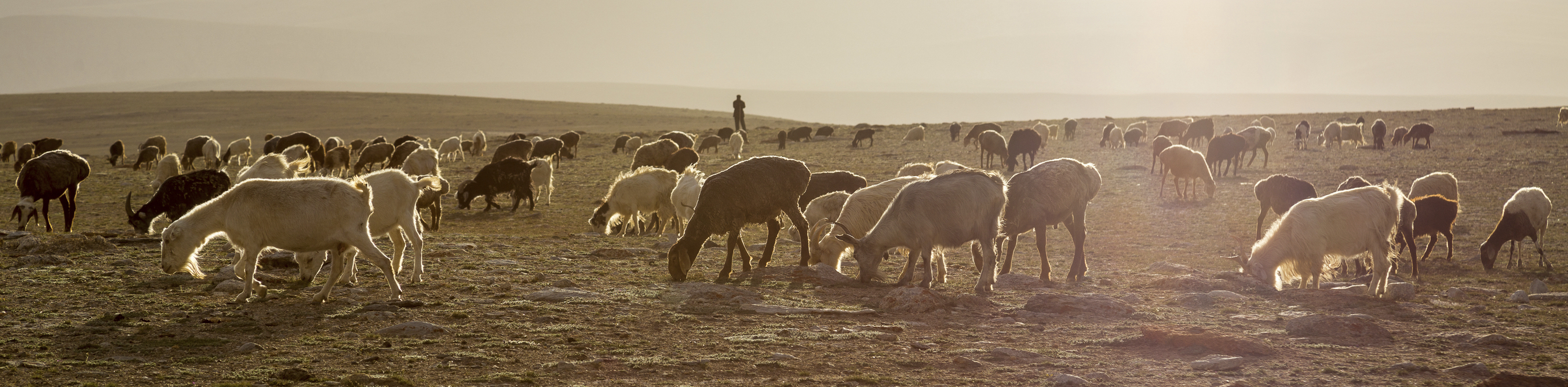 a shepherd is shown observing the flock as they graze